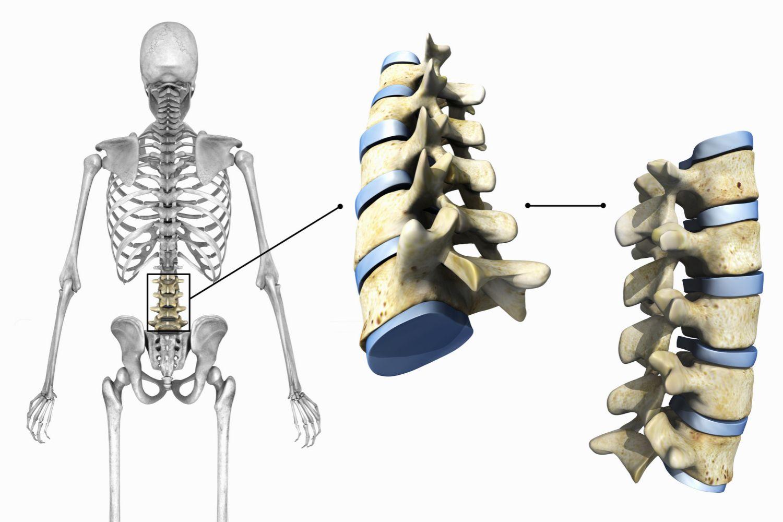 articulații cartilaginoase