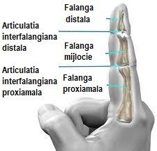 dureri articulare articulații interfalangiene)