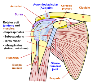 mușchii articulației umărului