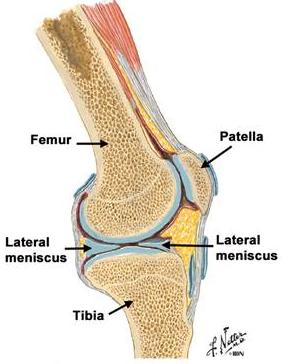 menisc medial al articulației genunchiului)