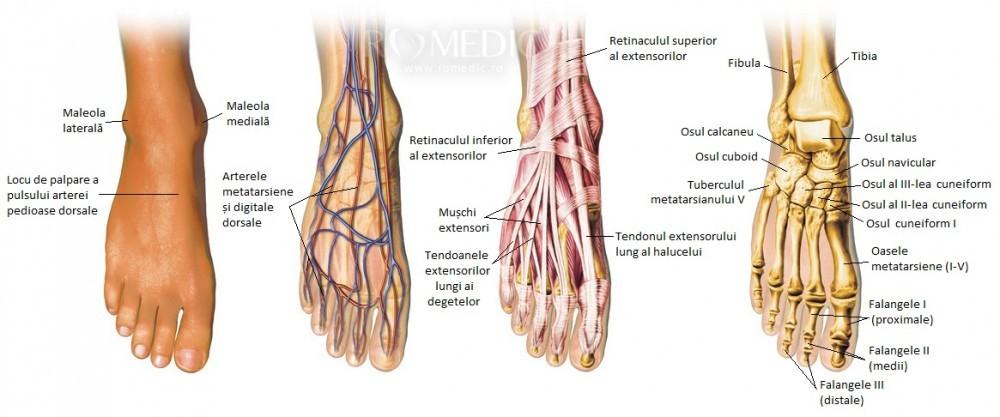 dureri la nivelul articulațiilor gambei piciorului