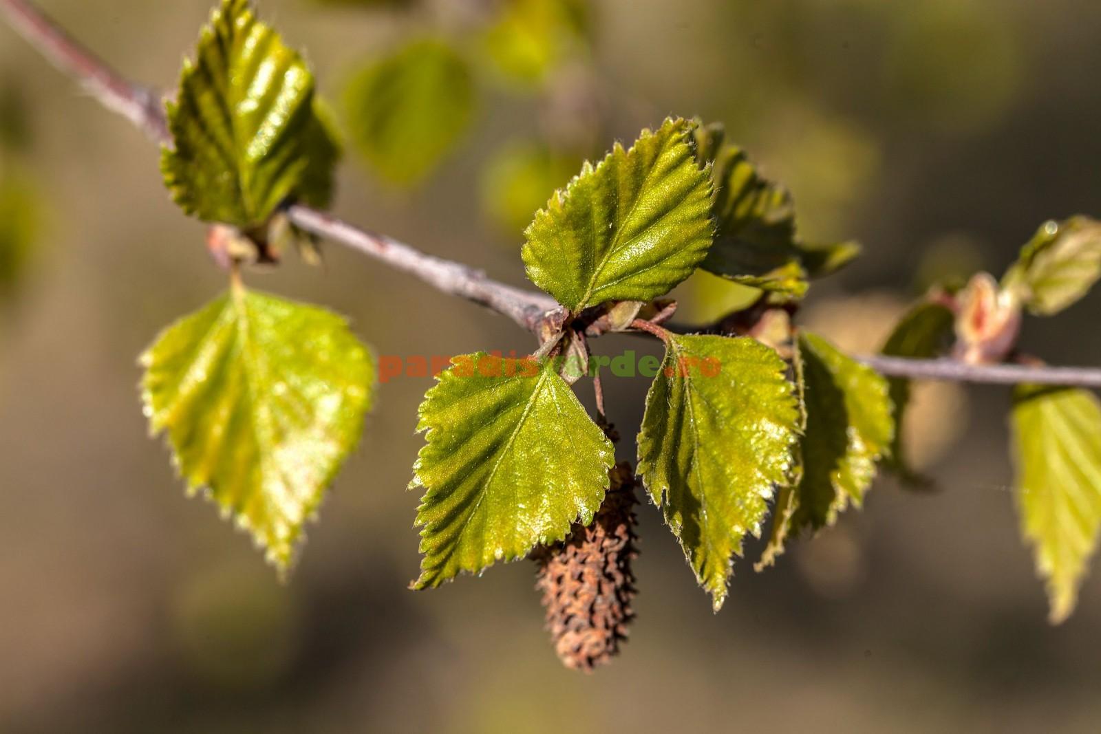 Tratamentul articulațiilor cu frunze uscate de mesteacăn