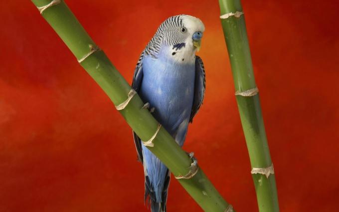 cum să tratezi artrita la papagali