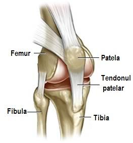 Articulația genunchiului piciorului. Navigare principală