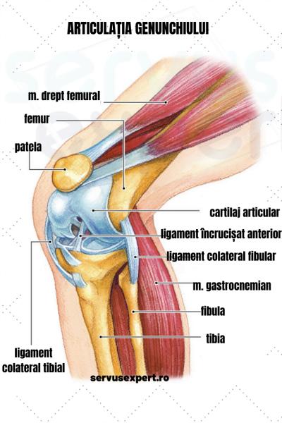 articulația genunchiului din față)
