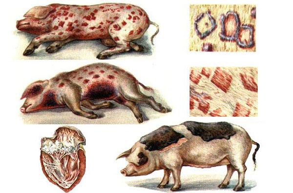 Artrita la simptomele porcilor și tratamentul eficient