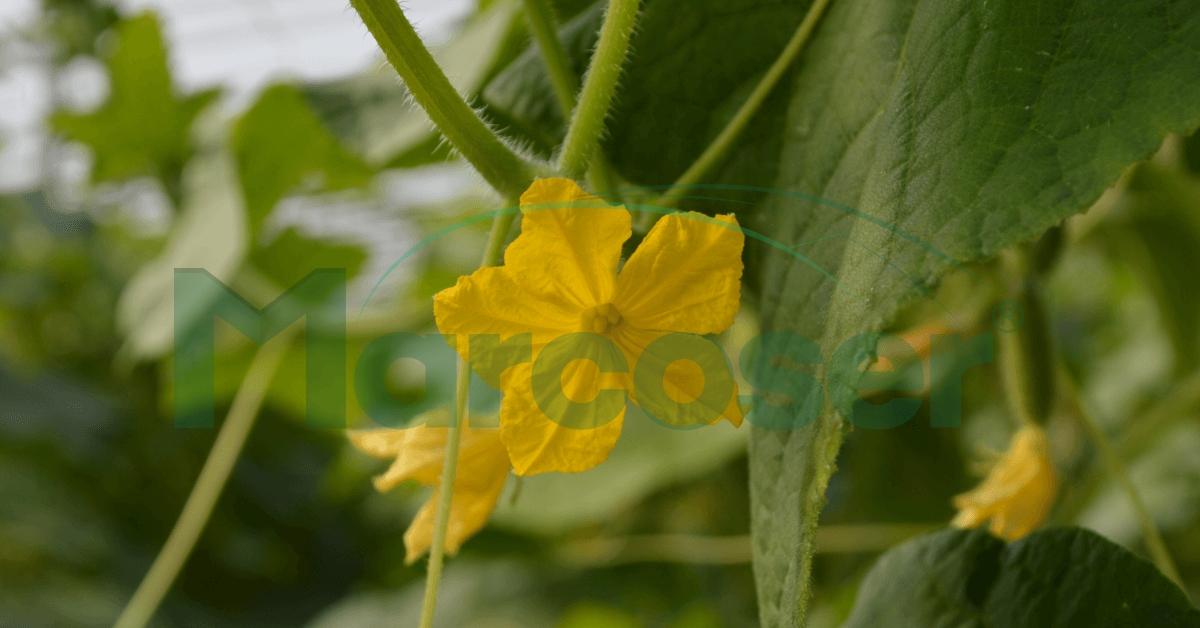 Insecticid castraveti