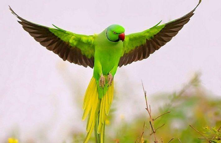 cum să tratezi artrita la papagali)