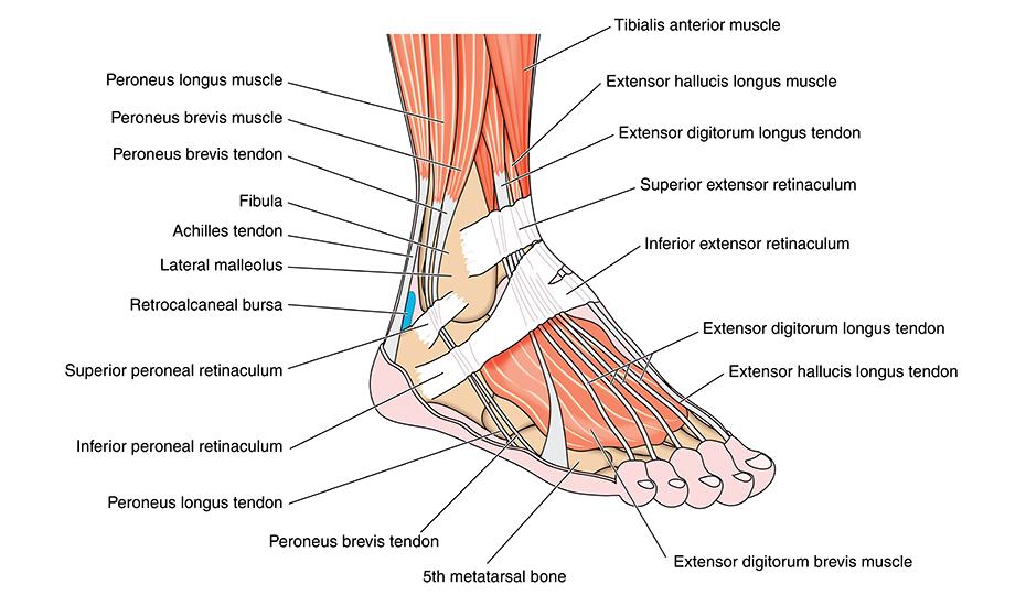 tendoane dureroase ale articulației gleznei