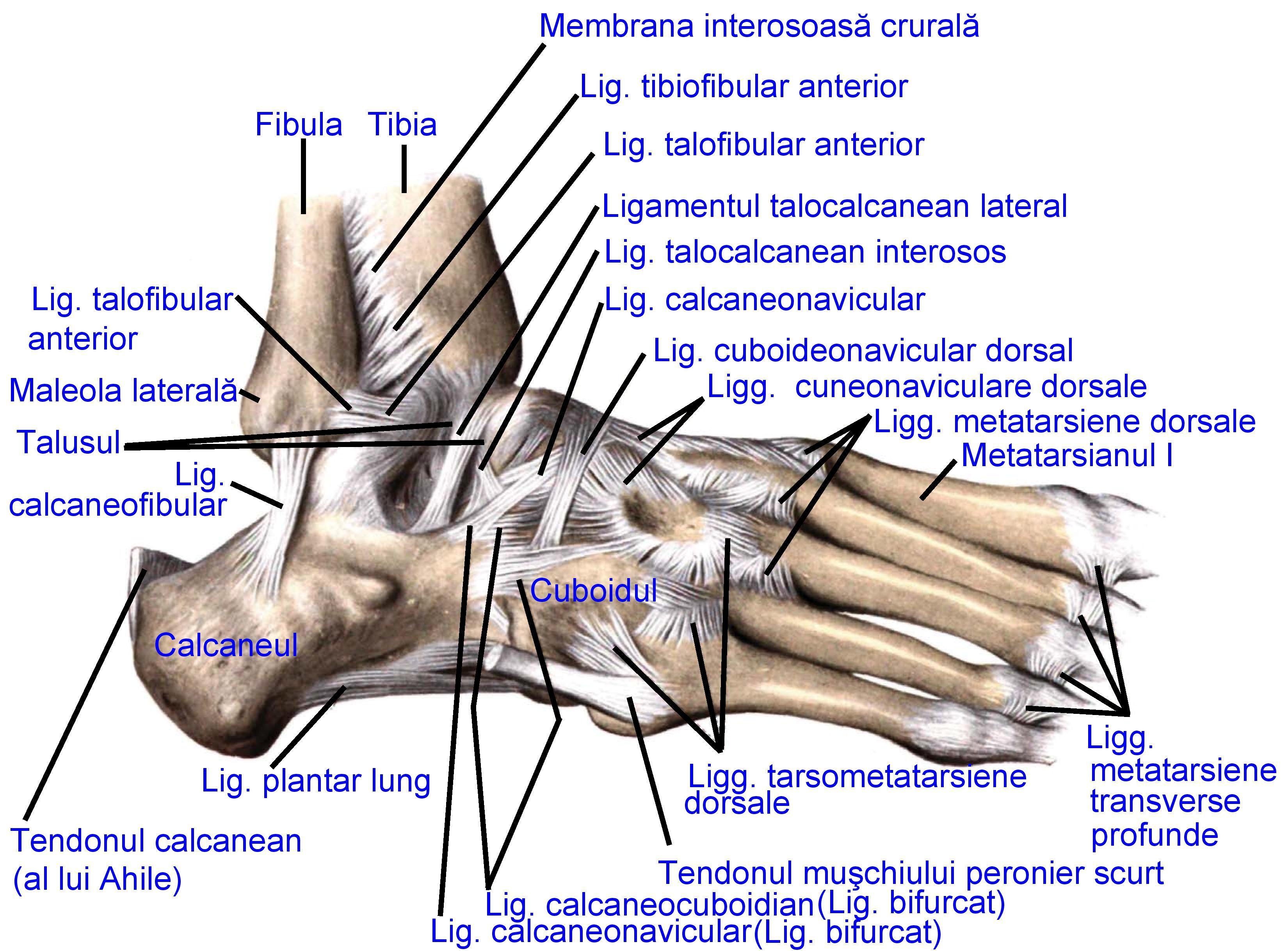 durere în articulația talocaneal-naviculară)